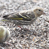 Pine Siskin <br /> Shot out basement door <br /> City of Bridgeton <br /> St. Louis County, Missouri <br /> 03-27-2013<br /> 2:48pm