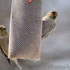 Common Redpoll <br /> and American Goldfinch <br /> City of Bridgeton <br /> St. Louis County, Missouri <br /> 03-27-2013<br /> 11:28am