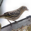 Pine Siskin <br /> City of Bridgeton <br /> St. Louis County, Missouri <br /> 2:59pm