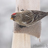 Common Redpoll <br /> City of Bridgeton <br /> St. Louis County, Missouri <br /> 03-27-2013<br /> 2:01pm