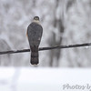 Cooper's Hawk <br /> City of Bridgeton <br /> St. Louis County, Missouri <br /> 03-25-2013<br /> 9:04am