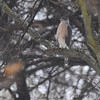 Cooper's Hawk <br /> City of Bridgeton <br /> St. Louis County, Missouri <br /> 03-27-2013<br /> 2:24pm