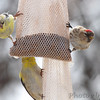Common Redpoll (female) <br /> and American Goldfinches  <br /> City of Bridgeton <br /> St. Louis County, Missouri <br /> 03-27-2013<br /> 3:01pm