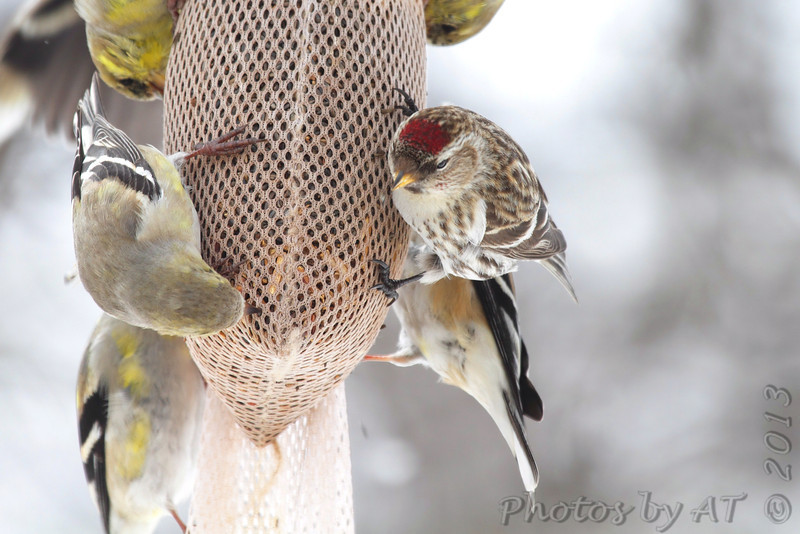 Common Redpoll <br /> and American Goldfinches  <br /> City of Bridgeton <br /> St. Louis County, Missouri <br /> 03-25-2013<br /> 1:35pm
