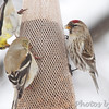 Common Redpoll <br /> City of Bridgeton <br /> St. Louis County, Missouri <br /> 03-25-2013<br /> 11:52am