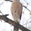Cooper's Hawk <br /> City of Bridgeton <br /> St. Louis County, Missouri <br /> 03-28-2013 <br /> 11:27am