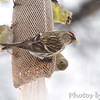 Common Redpoll <br /> and American Goldfinches  <br /> City of Bridgeton <br /> St. Louis County, Missouri <br /> 03-25-2013<br /> 11:52am