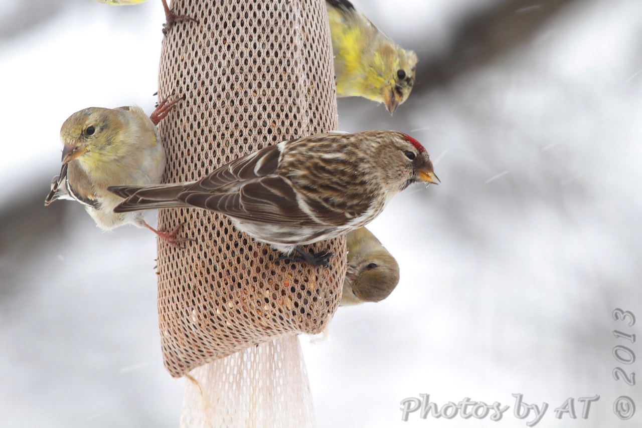 Common Redpoll <br /> and American Goldfinches  <br /> Bridgeton, Mo. <br /> 03-25-2013<br /> 11:52am