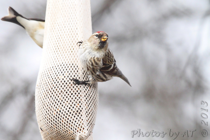 Common Redpoll (female) <br /> City of Bridgeton <br /> St. Louis County, Missouri  <br /> 03-31-2013<br /> 9:08am