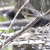 Northern Waterthrush <br /> Columbia Bottom Conservation Area