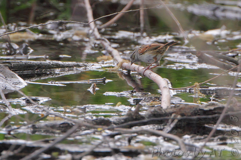 Swamp Sparrow <br /> Columbia Bottom Conservation Area