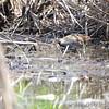 Sora <br /> Pintail Marsh <br /> Wise Road <br /> Riverlands Migratory Bird Sanctuary