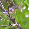 Eastern Bluebird <br /> Columbia Bottom Conservation Area