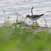 Solitary Sandpiper <br /> Columbia Bottom Conservation Area
