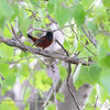 Orchard Oriole <br /> Columbia Bottom Conservation Area