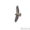 Swainson's Hawk <br /> Squaw Creek Natural Wildlife Refuge