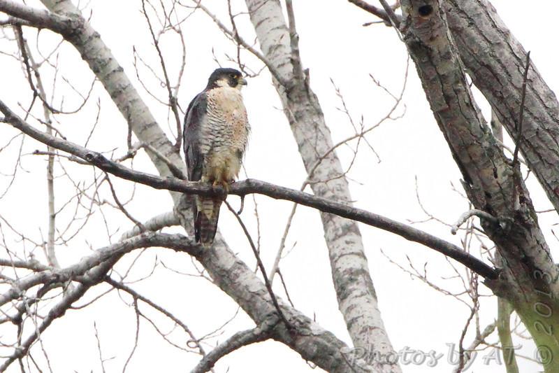 Peregrine Falcon<br /> Squaw Creek Natural Wildlife Refuge