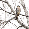 Peregrine Falcon<br /> Squaw Creek Natural Wildlife Refuge