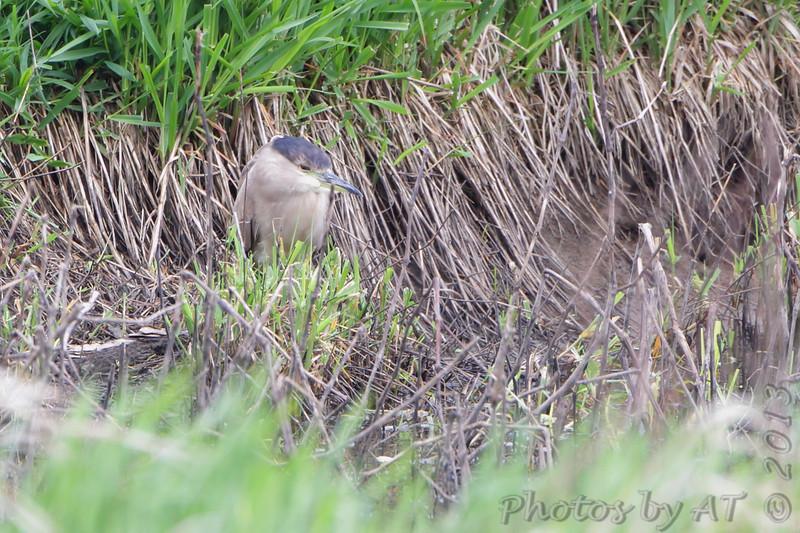 Black-crowned Night-Heron <br /> Squaw Creek Natural Wildlife Refuge