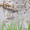 Solitary Sandpiper <br /> Squaw Creek Natural Wildlife Refuge