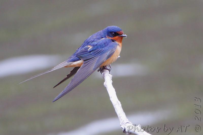 Barn Swallow <br /> Squaw Creek Natural Wildlife Refuge