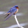 Barn Swallow <br /> Squaw Creek Natural Wildlife Refuge