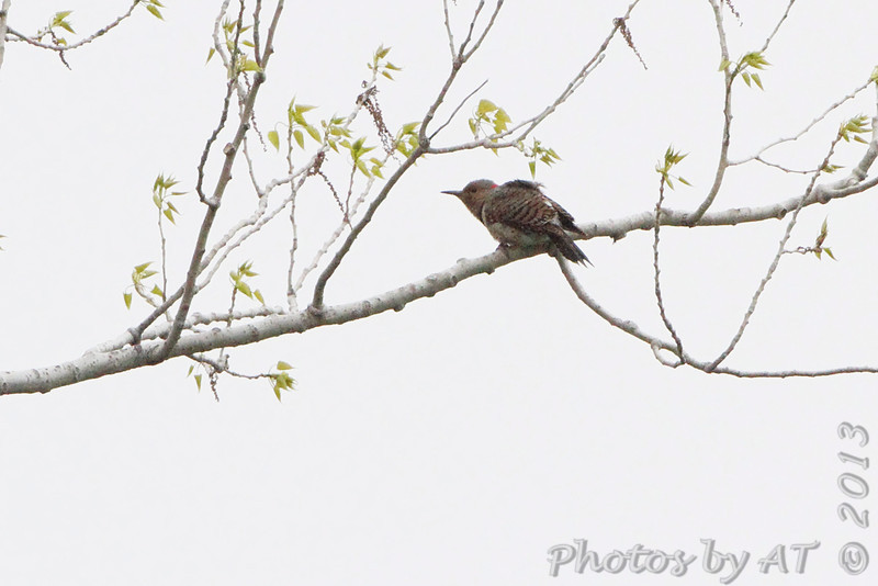 Northern Flicker <br /> Squaw Creek Natural Wildlife Refuge