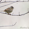 Lincoln's Sparrow <br /> Squaw Creek Natural Wildlife Refuge