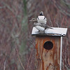 Hooded Mergansers  <br /> Squaw Creek Natural Wildlife Refuge<br /> 5/4/13
