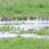 Long-billed Dowitchers and Willet <br /> Squaw Creek Natural Wildlife Refuge
