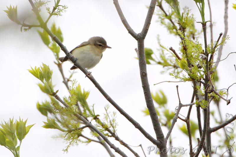 Warbling Vireo <br /> Squaw Creek Natural Wildlife Refuge