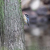 Red-breasted Nuthatch <br /> This is the best (out-of-focus) profile photo I could <br /> quickly get of this bird. Documentation only. <br /> Squaw Creek Natural Wildlife Refuge