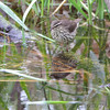 Northern Waterthrush <br /> Squaw Creek Natural Wildlife Refuge <br /> 5/3/13