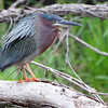 Green Heron <br /> Squaw Creek Natural Wildlife Refuge
