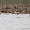 Long-billed Dowitcher and Hudsonian Godwit <br /> Squaw Creek Natural Wildlife Refuge