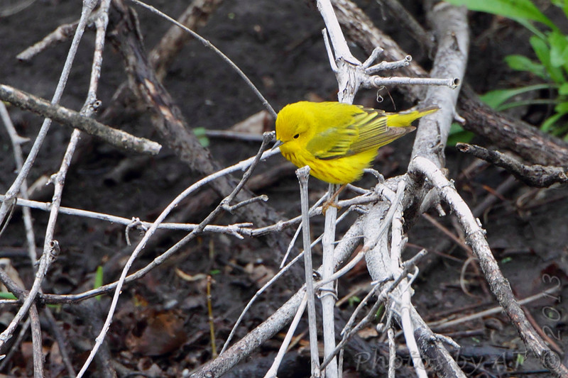 Yellow Warbler <br /> Squaw Creek Natural Wildlife Refuge