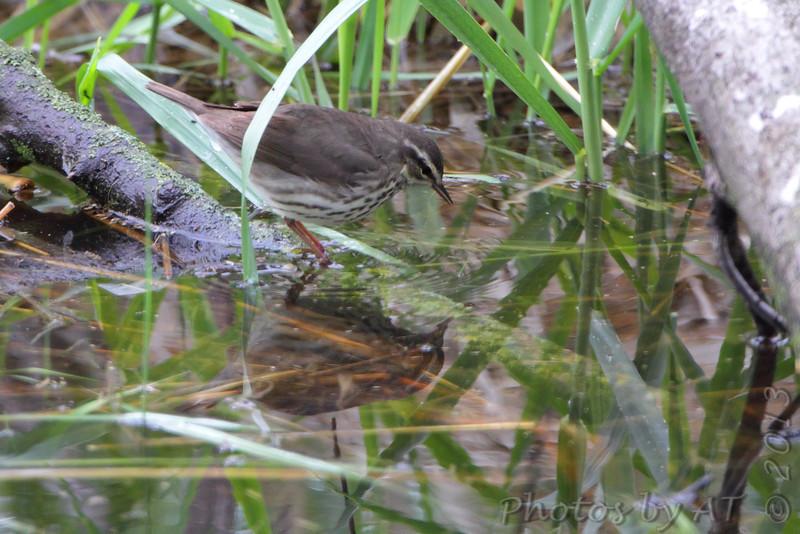 Northern Waterthrush <br /> Squaw Creek Natural Wildlife Refuge <br /> 5/3/13