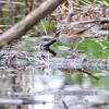 Swamp Sparrow<br /> Squaw Creek Natural Wildlife Refuge