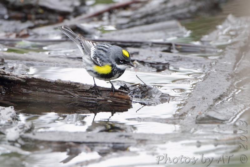 Yellow-rumped Warbler <br /> Squaw Creek Natural Wildlife Refuge