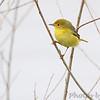 Yellow Warbler (female) <br /> Squaw Creek Natural Wildlife Refuge