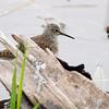 Solitary Sandpiper <br /> Squaw Creek Natural Wildlife Refuge<br /> 5/3/13