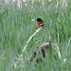 Baltimore Oriole <br /> Squaw Creek Natural Wildlife Refuge<br /> 5/3/13