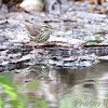Northern Waterthrush <br /> Squaw Creek Natural Wildlife Refuge
