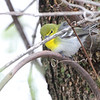 Yellow-throated Vireo <br /> Squaw Creek Natural Wildlife Refuge