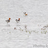 American Avocet<br /> Squaw Creek Natural Wildlife Refuge