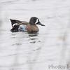 Blue-winged Teal <br /> Squaw Creek Natural Wildlife Refuge