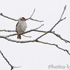 Chipping Sparrow <br /> Bean Lake