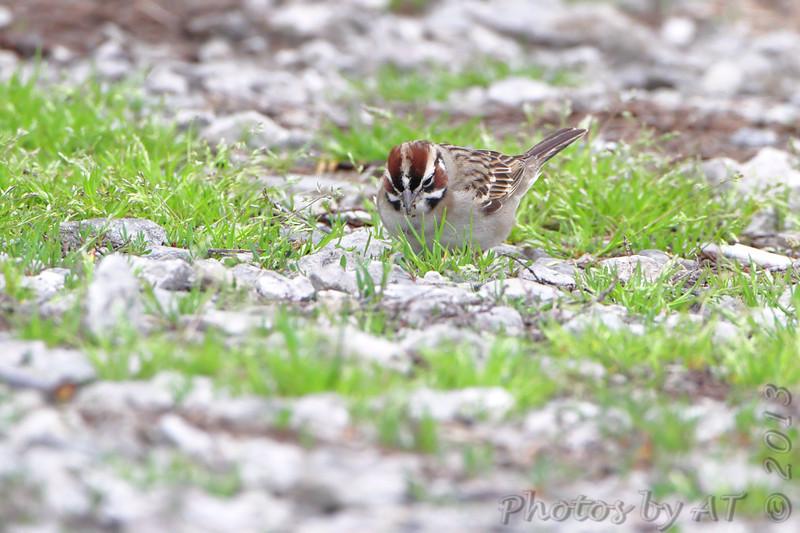 Lark Sparrow <br /> Bean Lake