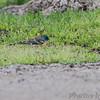 Lazuli Bunting <br /> Bean Lake