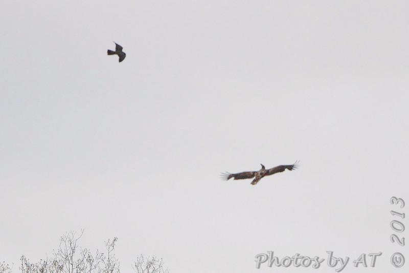 Peregrine Falcon harassing Bald Eagle <br /> Bean Lake